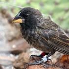 La Brújula de la Ciencia s07e42: Los pinzones de las islas Galápagos y el nacimiento de una nueva especie