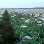 21-10-2019 Eliminando las plantas usadas como materia prima para la creación de estupefacientes
