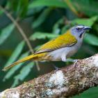 Canto del guayabero ajicero (Saltator maximus)