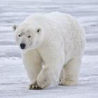 No pienses en un oso blanco