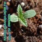 documental marihuana marruecos hachis critical rep........
