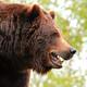 O evasivo refuxo dos osos pardos na idade de xeo [Axencia SINC]