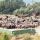 La Conselleria nega els continus atacs de voltors i avala la seua gestió