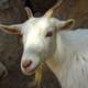 El Recuento en Onda Madrid: Hoy suena la cabra