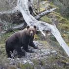 Proyecto 'Red Natura 2000' y el oso pardo