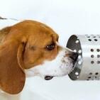 Los perros pueden detectar el coronavirus con su olfato