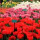 Los Viajes de Nautilus 1x09 - Holanda, el país de los tulipanes