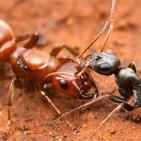 La Brújula de la Ciencia s07e34: Hormigas esclavistas y su origen evolutivo