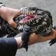 La Brújula de la Ciencia s05e22: El tegu argentino, un lagarto de sangre caliente