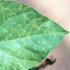 Fascinacion por las plantas - 173 - Virus vegetales 3